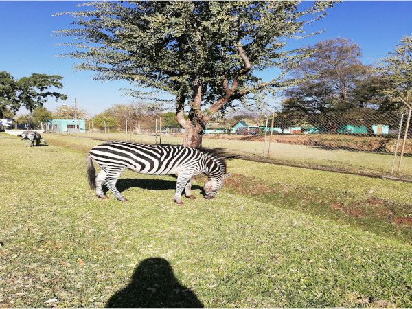 Zebra sighting at Zesco Livingstone